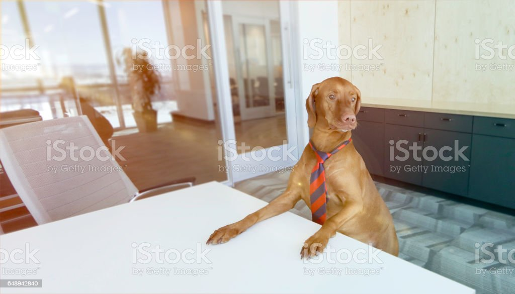 Vizsla business dog at conference table