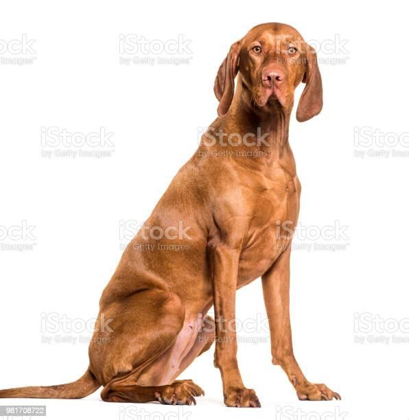 Vizsla dog 15 years old sitting against white background picture id981708722?b=1&k=6&m=981708722&s=612x612&h= 4fbxgqz3slib625ygdoerx1z1yu7rzxkfllbsxzkhk=