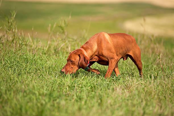 Vizsla dog in field stock photo