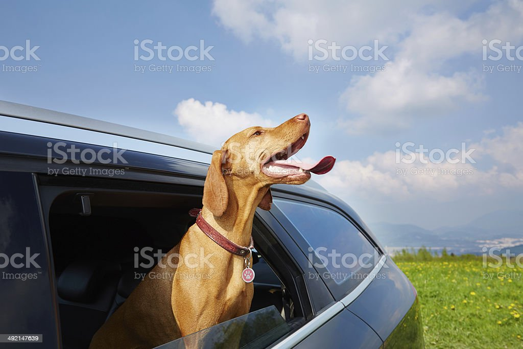 Vizsla dog looking out the car window stock photo