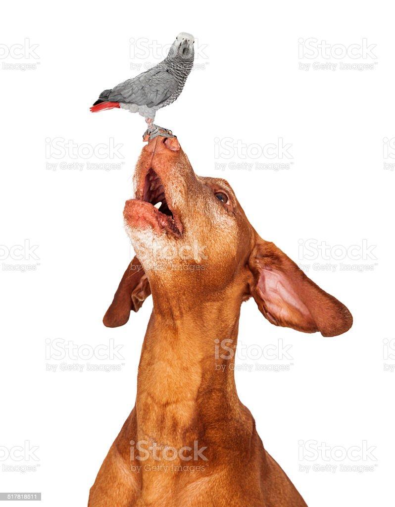 Vizsla dog looking up at a bird on his nose stock photo