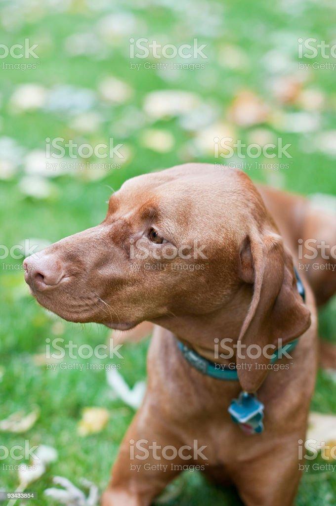 Vizsla Hund liegen auf dem Rasen Lizenzfreies stock-foto