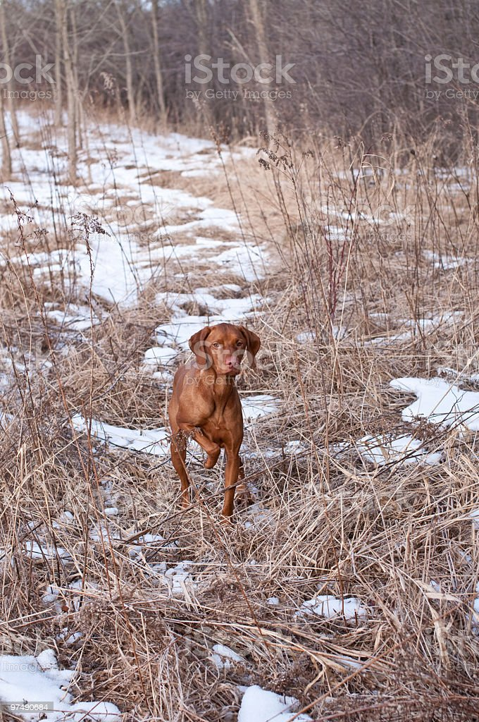 Vizsla Dog Pointing in a Snowy Field royalty-free stock photo
