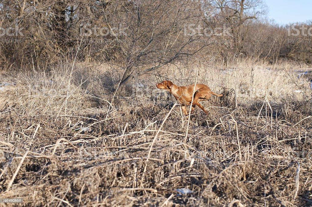 Vizsla Dog Running Across a Field in Winter royalty-free stock photo