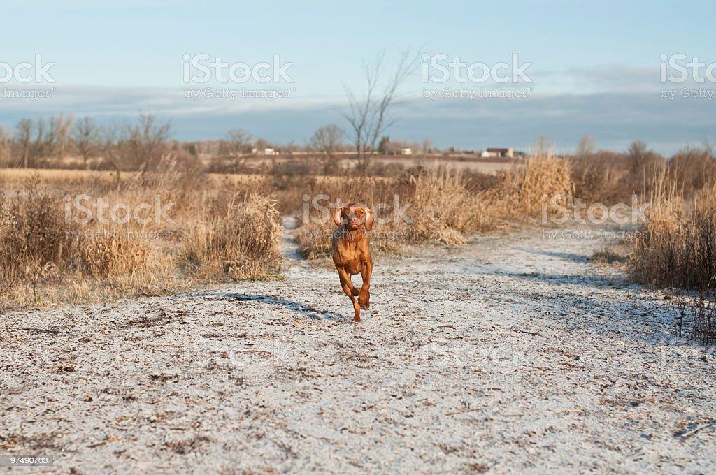 Vizsla dog running down a frosty path. royalty-free stock photo