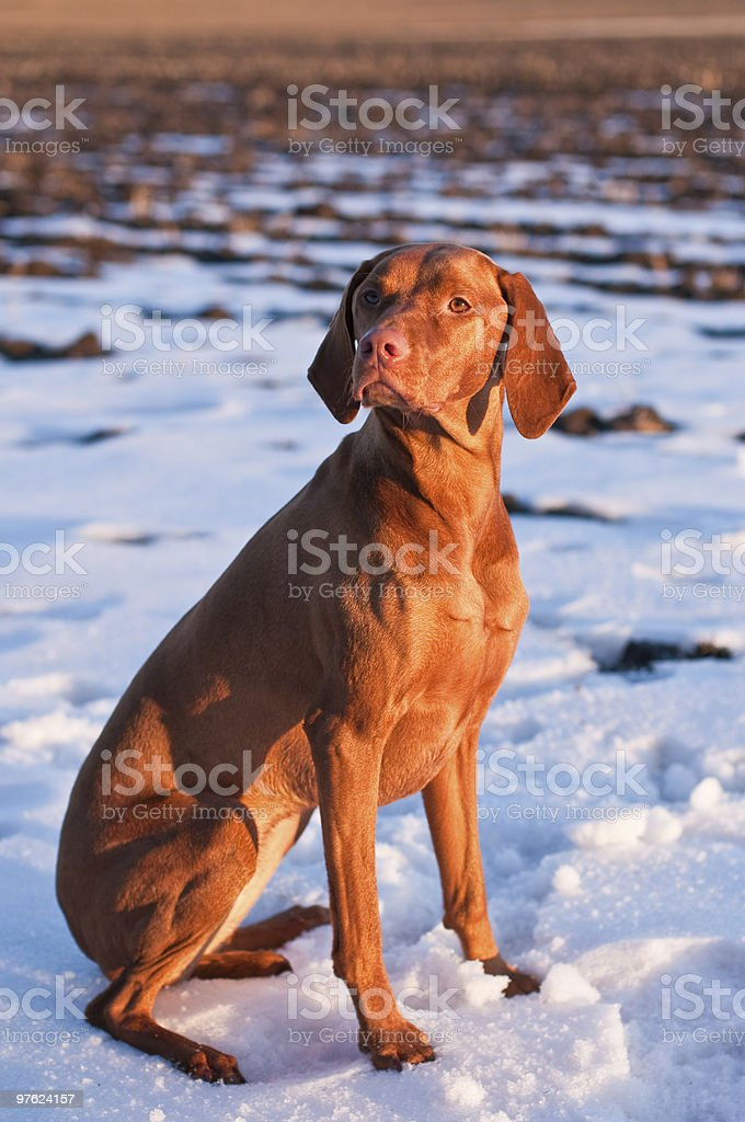 Vizsla Dog Sitting in a Snowy Field royalty-free stock photo