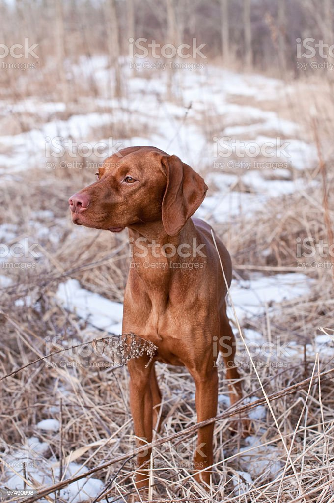 Vizsla Dog Standing in a Snowy Field royalty-free stock photo