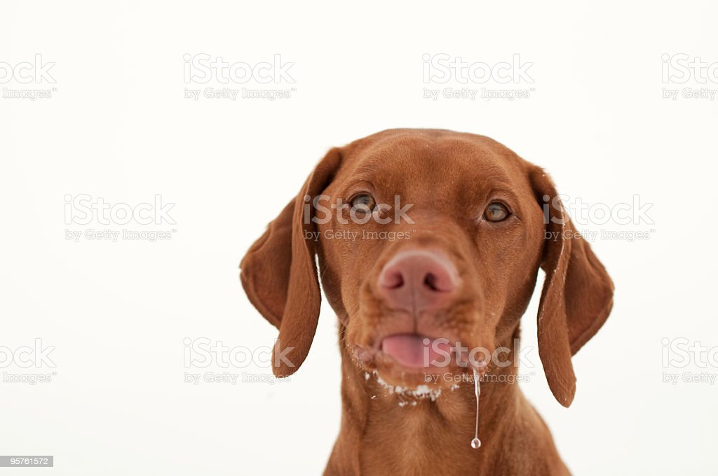 Vizsla Dog Sticking Out Its Tongue and Drooling stock photo