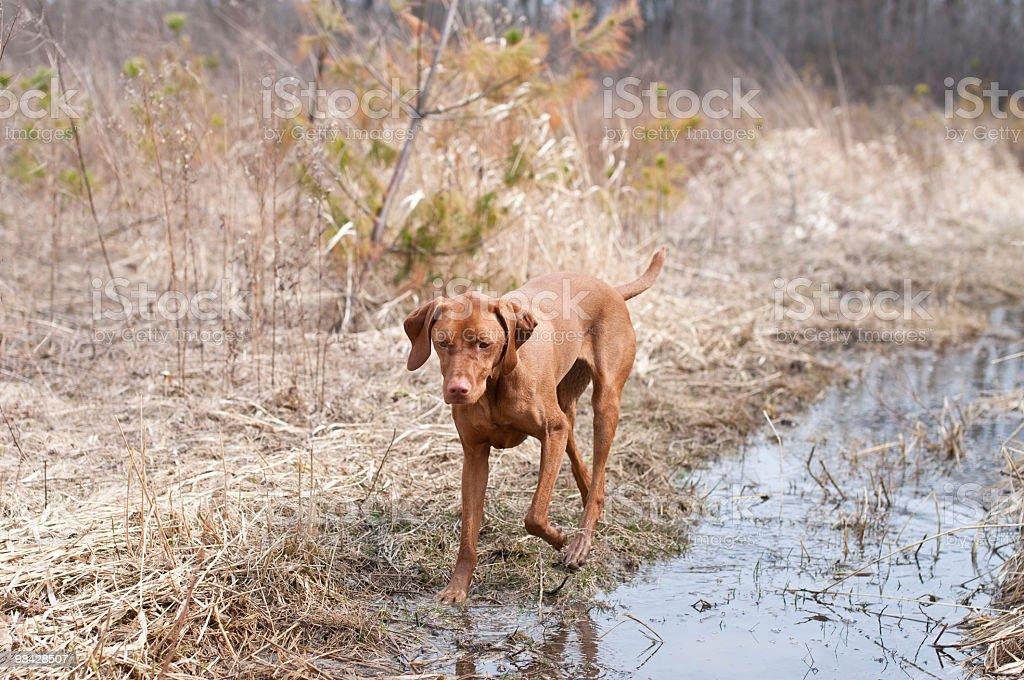 Vizsla Dog Walking in a Muddy Puddle royalty-free stock photo