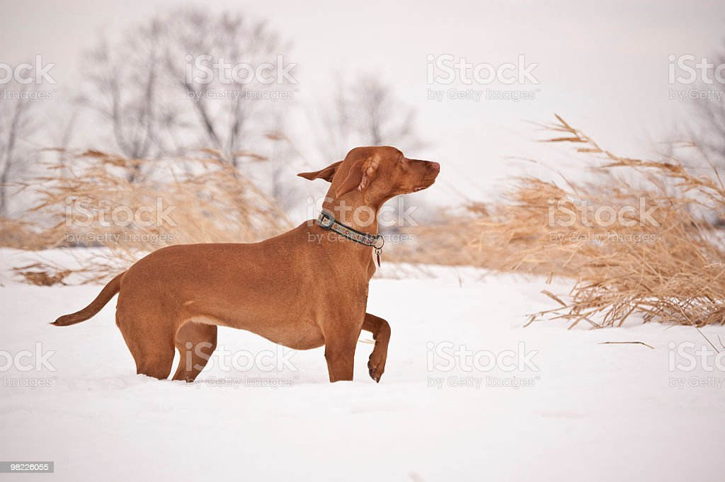 Vizsla in Snowy Field on a Windy Day royalty-free stock photo