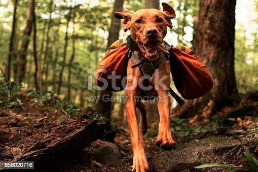 istock Vizsla Jumping With Backpack 856020716