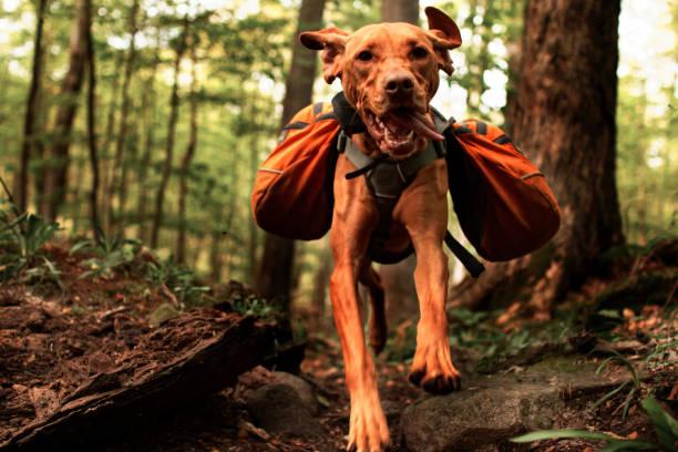 vizsla springen mit rucksack - happy trails stock-fotos und bilder