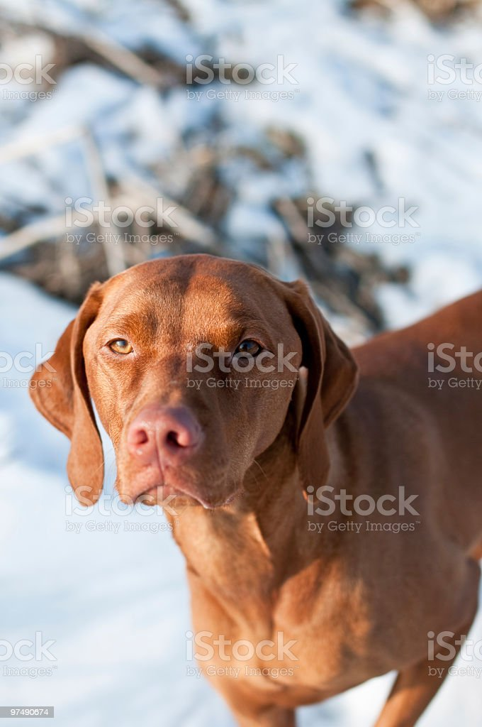 Vizsla Portrait in Winter royalty-free stock photo