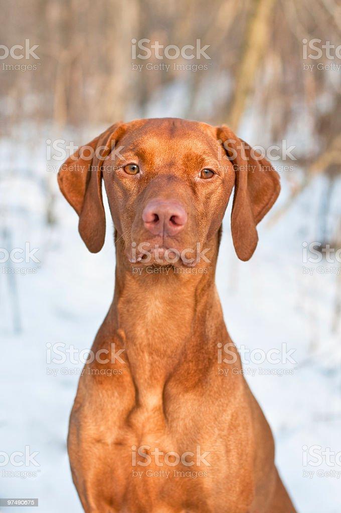 Vizsla Portrait in winter. royalty-free stock photo