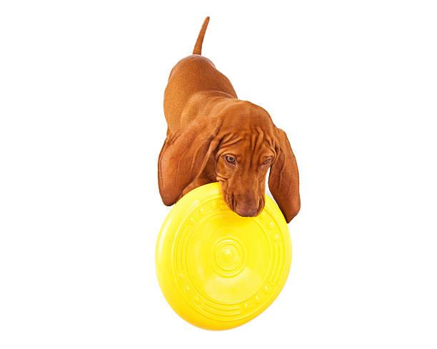 Vizsla puppy playing with frisbee picture id517828969?b=1&k=6&m=517828969&s=612x612&w=0&h=yjdkbj8ihxp6c4wtguxtms0hlulu9s4kxhxgwnhtwl0=