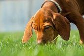 istock Vizsla Puppy Playtime - Sniffing 1134810340