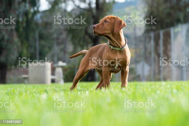 Vizsla puppy posing in grass playtime picture id1134810357?b=1&k=6&m=1134810357&s=612x612&h=asjskadf2i707yfsr84bqxuf7t3 j4dqqk3o5ilps y=