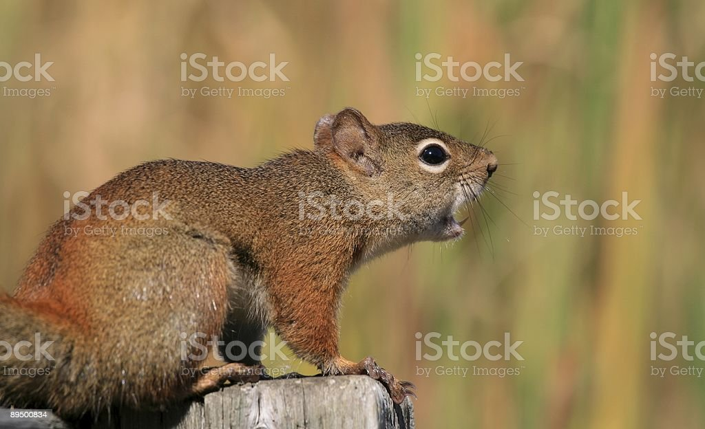 Vocal Squirrel with Broken Tooth royalty free stockfoto