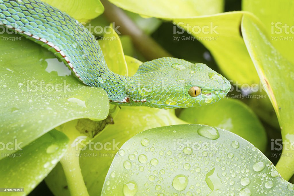 Vogel's Pit Viper in Rainforest stock photo
