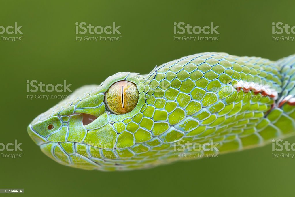 Vogel's Pit Viper Snake stock photo