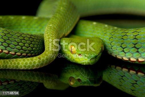 Vogel's Pit Viper Snake  [url=http://www.istockphoto.com/file_search.php?action=file&lightboxID=6835114] [img]http://www.kostich.com/snakes_banner.jpg[/img][/url]