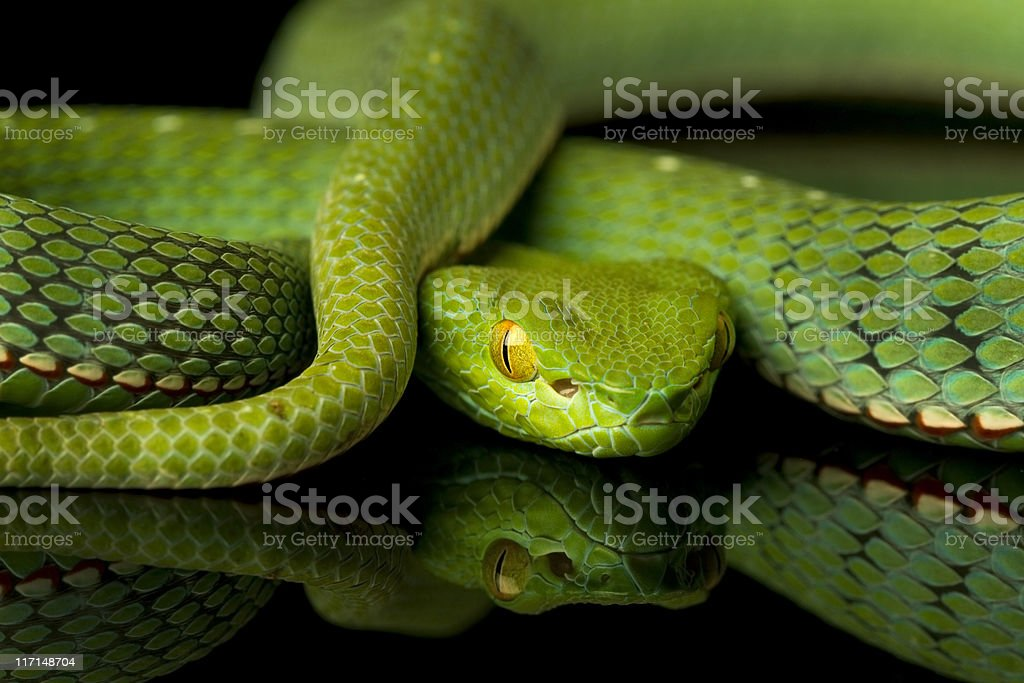 Vogel's Pit Viper Snake stock photo