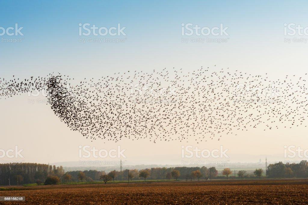Vogelschwarm Stare Im Flug Über Den Feldern – Foto