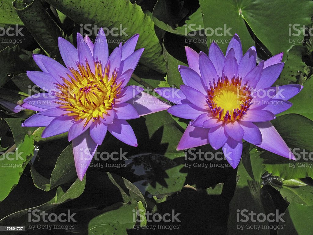 Voilet colored water lily royalty-free stock photo