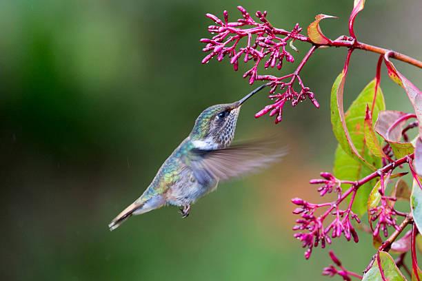 Volcano hummingbird female picture id512802376?b=1&k=6&m=512802376&s=612x612&w=0&h=5whibk5ovpowm3hzn0rpdscbdtvdy4ddu8vcuosb5xw=