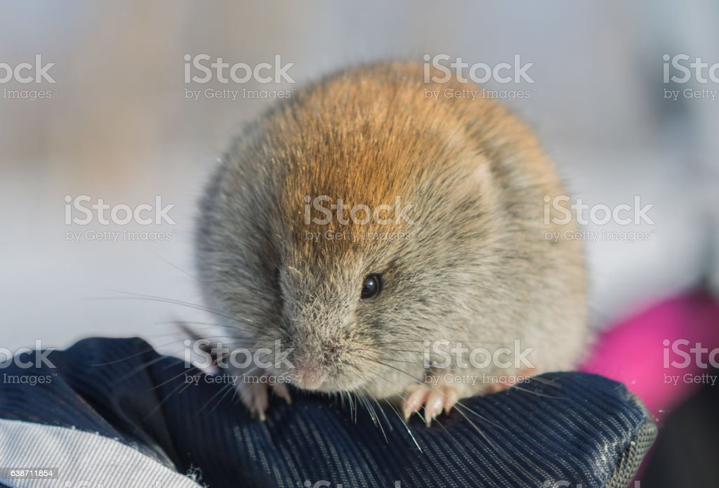 Vole mouse at winter – Foto
