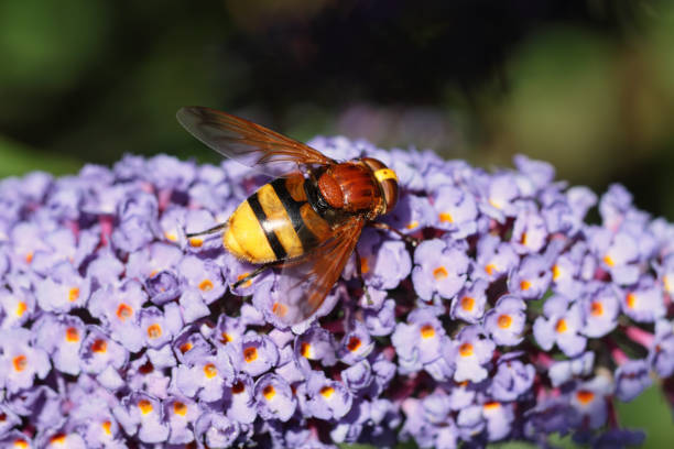 volucella hoverfly feeding on flowerhead of violet buddleia bush - whiteway stock photos and pictures