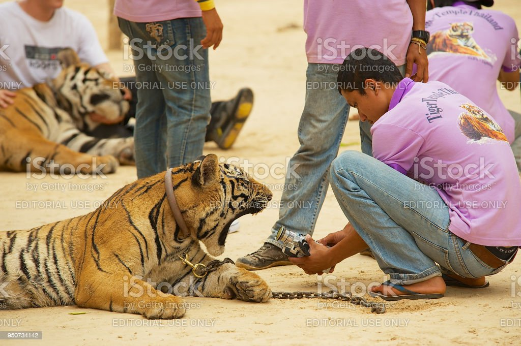 Volunteer films yawning Indochinese tiger in Tiger Temple Kanchanaburi, Thailand. stock photo