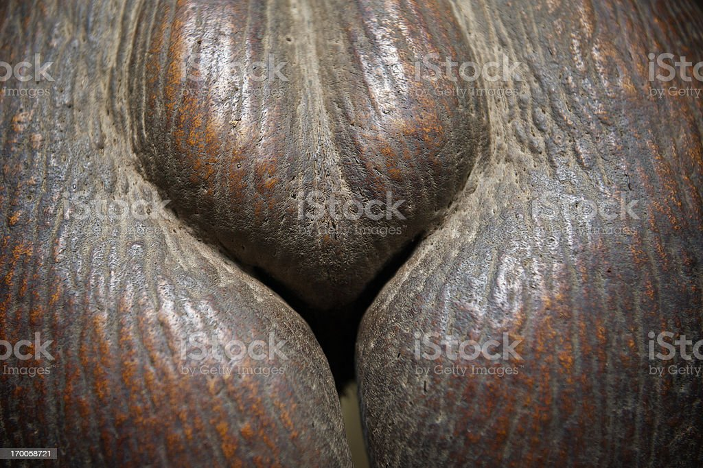 Voluptuous Coco de Mer Seed Close-Up Full Frame stock photo