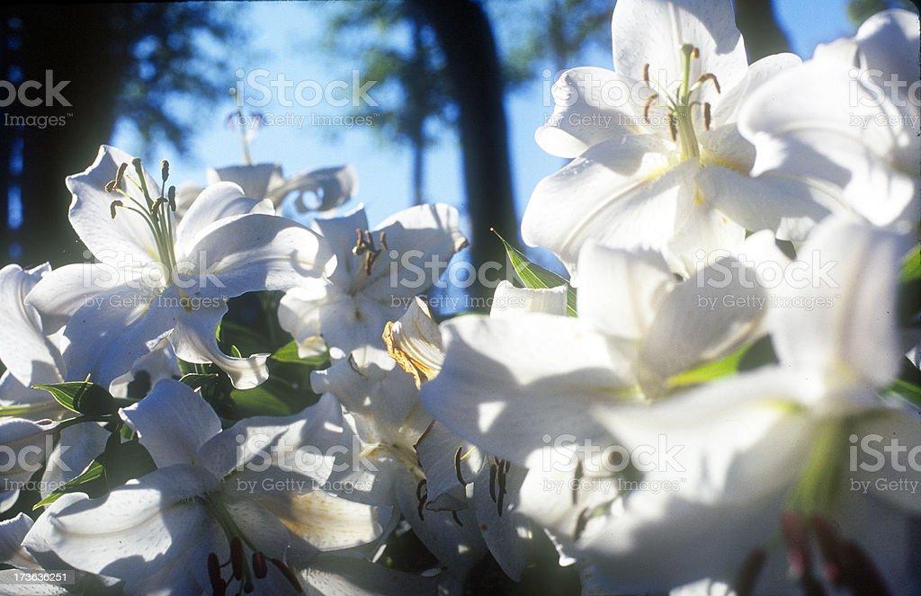 Volutpuous Lilies royalty-free stock photo