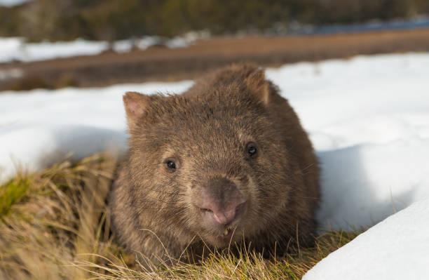 Vombatus ursinus,  Common or  coarse-haired, bare-nosed wombat - Endemic Australian Marsupial Animal grazing in wild natural habitat in winter with snow around the burrow. stock photo