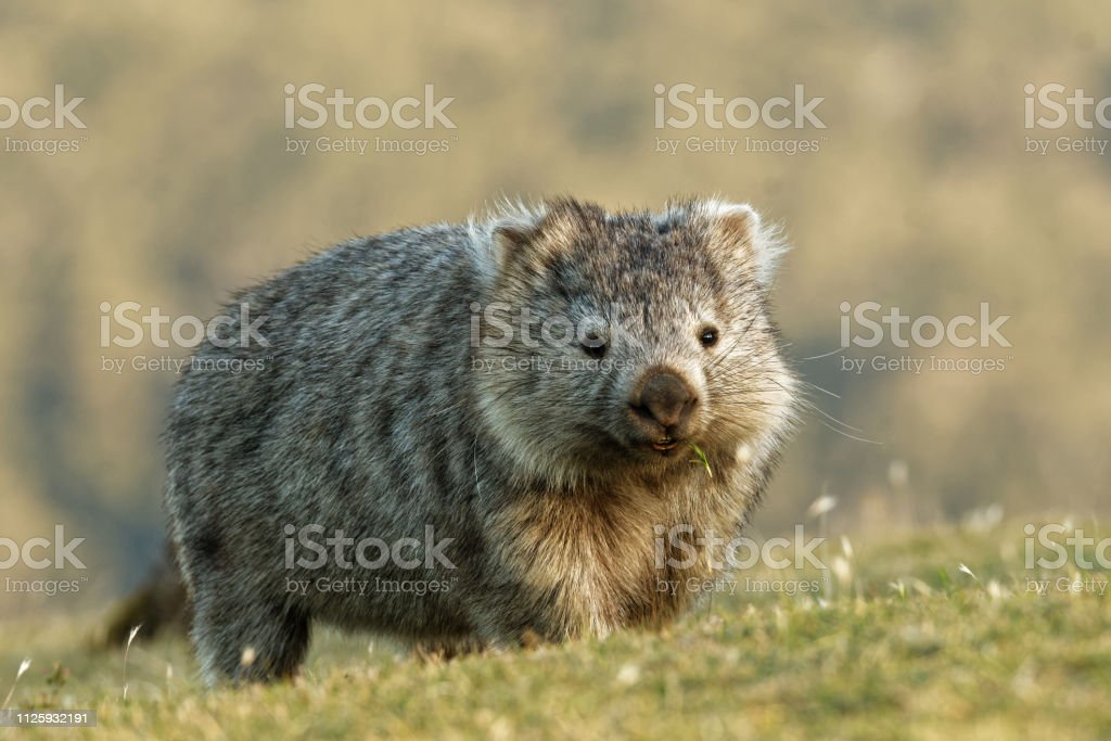 Vombatus ursinus - Common Wombat in the Tasmanian scenery Vombatus ursinus - Common Wombat in the Tasmanian scenery, eating grass in the evening on the island near Tasmania. Animal Stock Photo