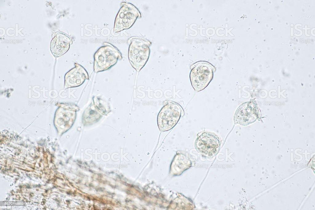 Vorticella is a genus of protozoan under microscope view. stock photo