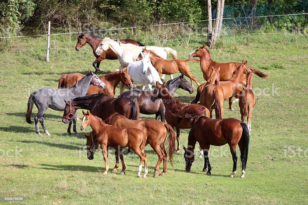 Voung mares and foals graze in pasture rural scene stock photo