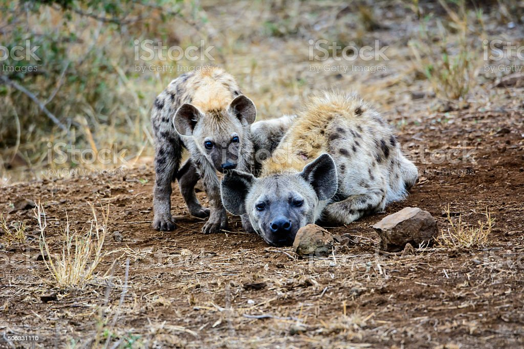 Vulnerable hyena pup with mum stock photo