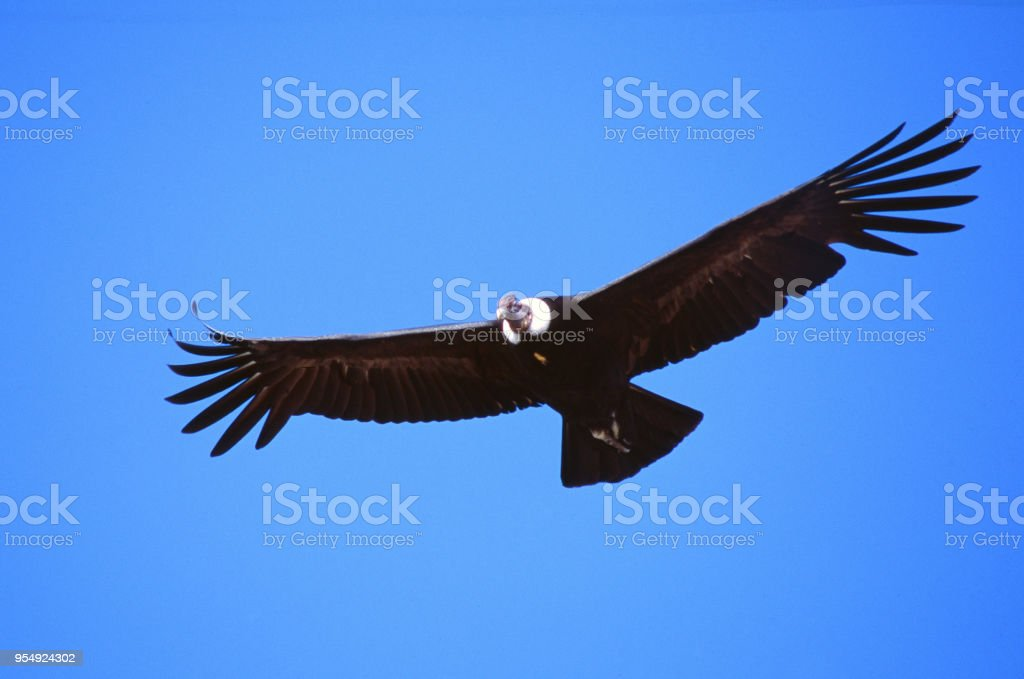 Vultur gryphus - Condor delle Ande - foto stock