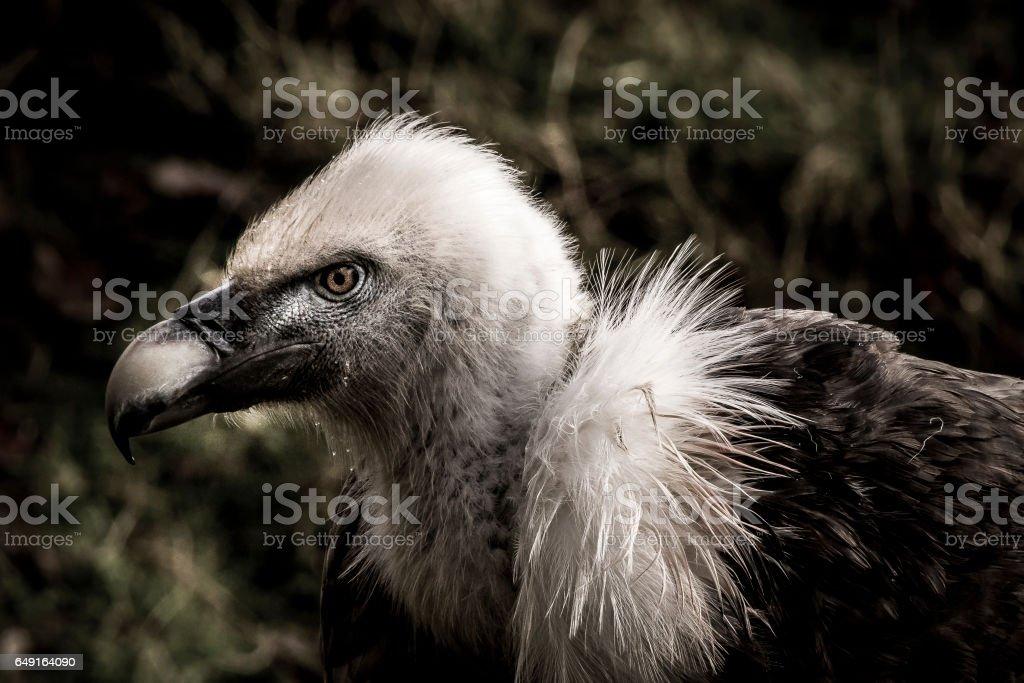 Vultur in the dark stock photo