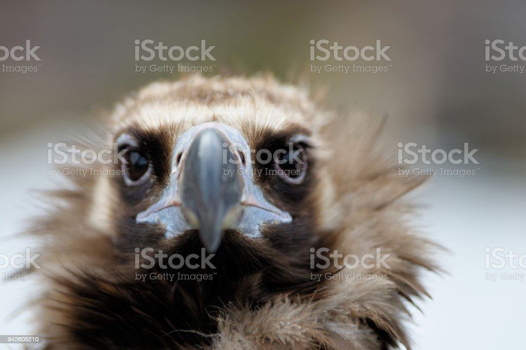 Vulture close-up portrait stock photo