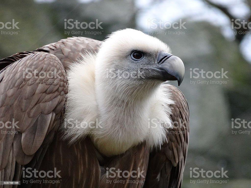 Vulture head stock photo