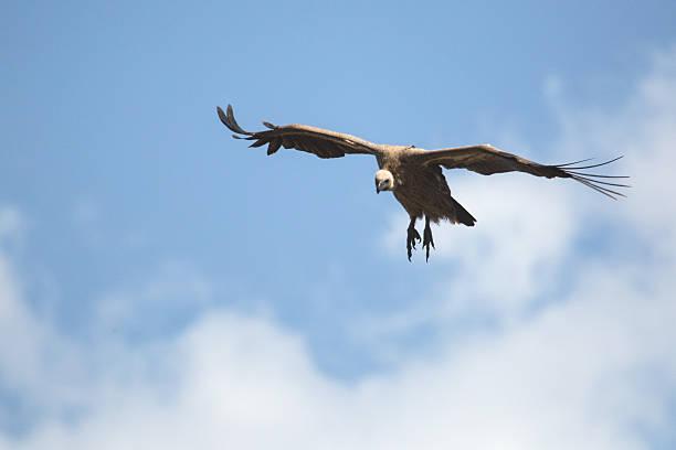 Vulture in Flight in Zimbabwe