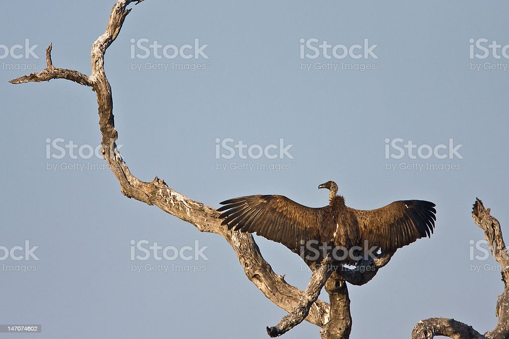 Vulture in tree royalty-free stock photo