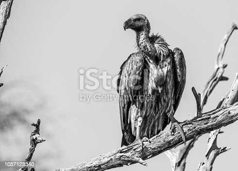 Vulture resting on branch
