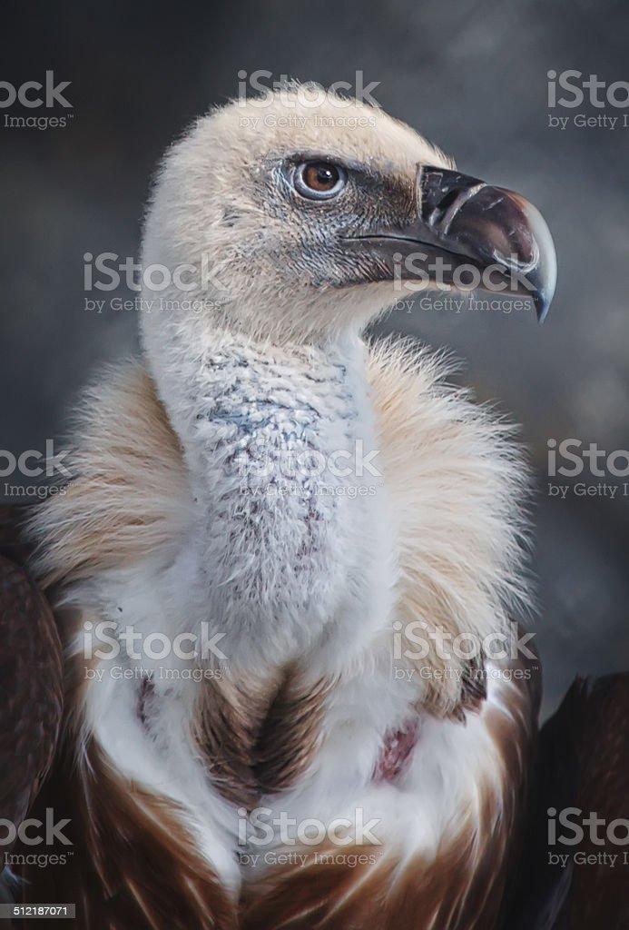 Vulture stock photo