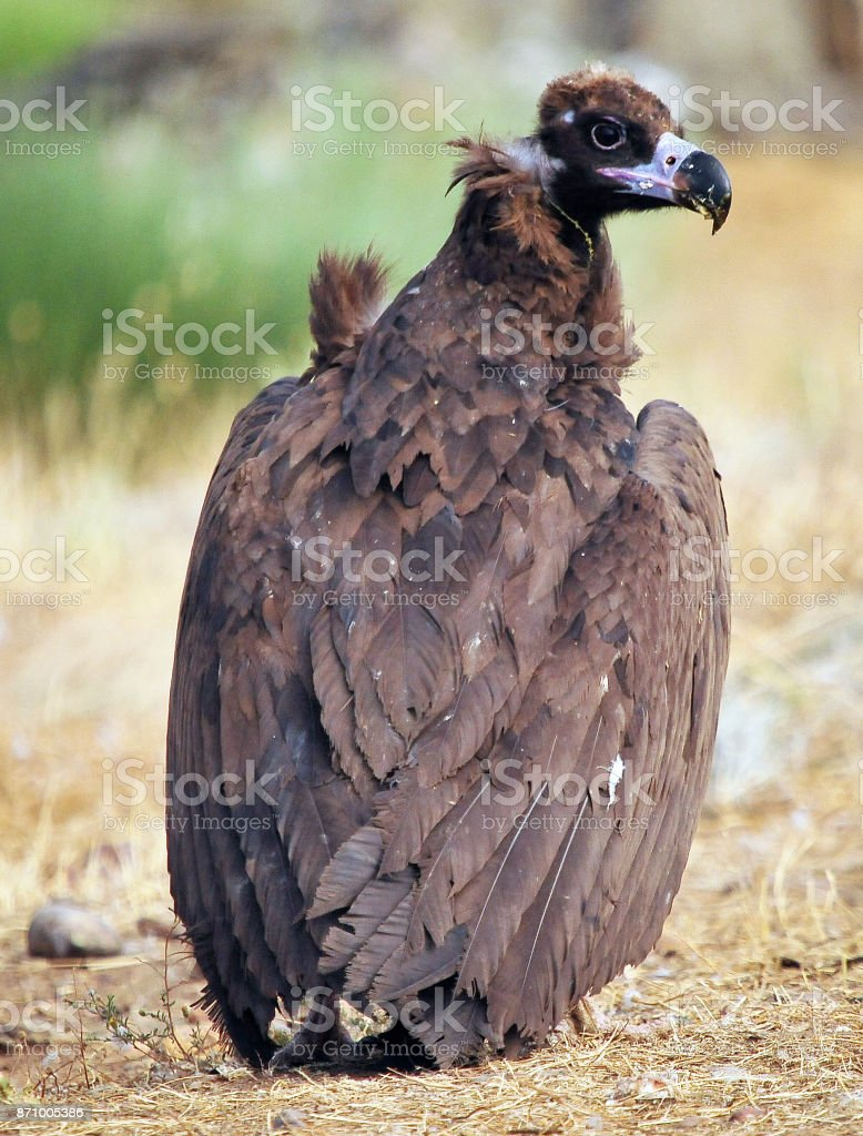 vulture stock photo