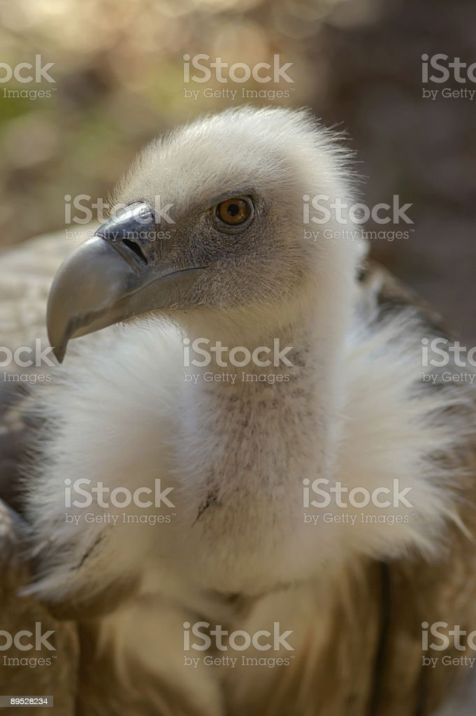 Vulture royalty-free stock photo