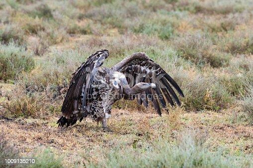 Ruppell's vulture, Gyps Rueppelli, critically endangered. Tanzania, lake Ndutu.